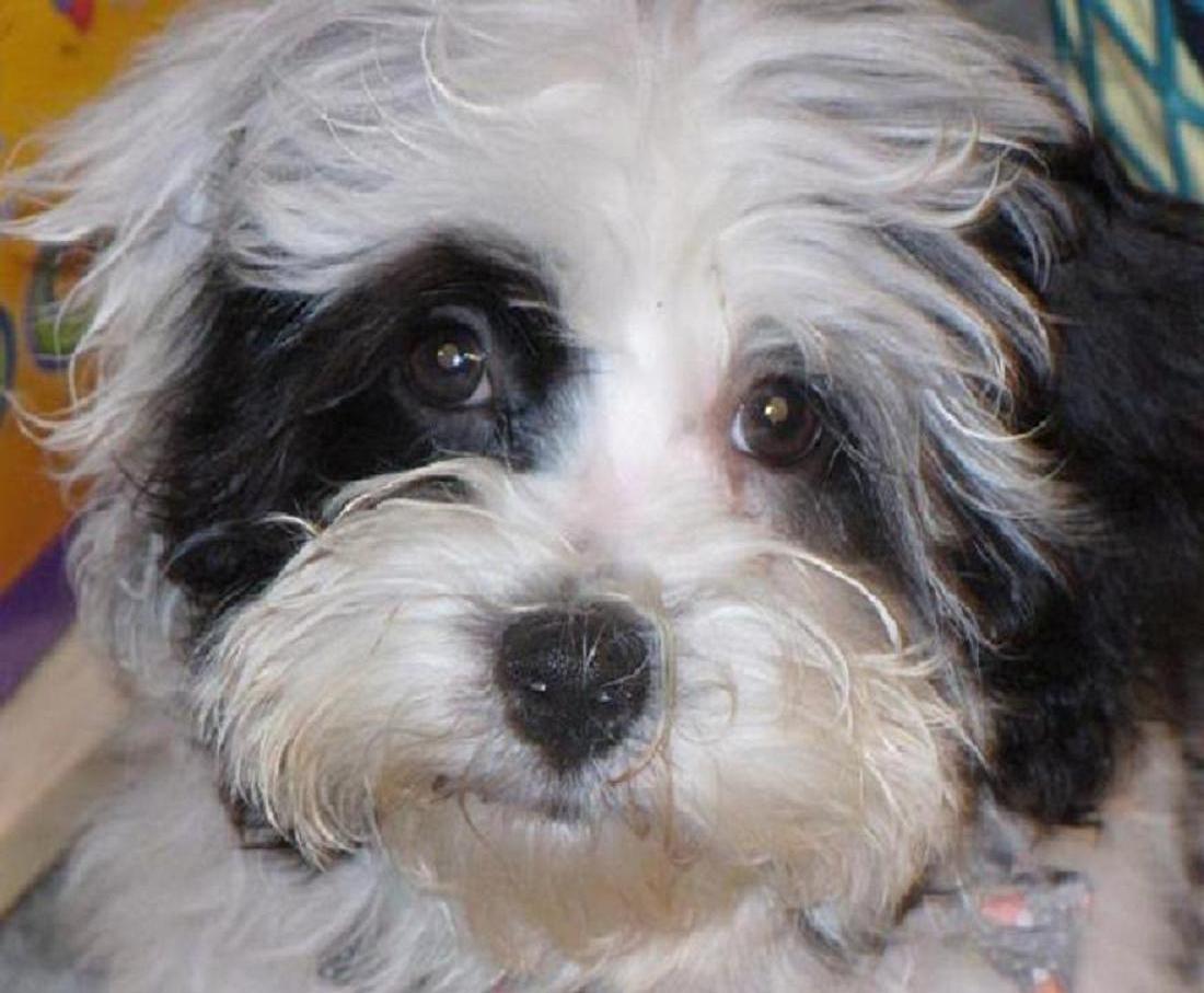 Non Shedding Dog Breeds List